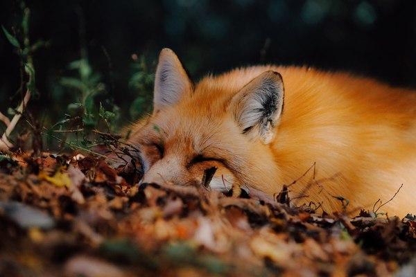 Спящие клубочки ^.^ лиса, фыр, милота, Животные