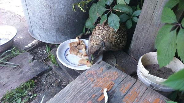 Ёжик кушает Ёжик резиновый, милота, перекус, длиннопост