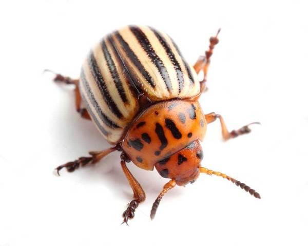 Простой способ борьбы с колорадским жуком борьба с колорадским жуком, цветы, дача, полезное, картофель, дачникам, жук, совет дачникам, длиннопост