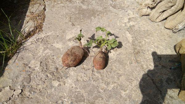 Рано ещё копать картошку, говорили они Урожай, Картофель, Битва за урожай