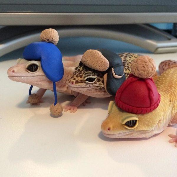 Геккон в шапочке подружился с хамелеоном с топориком. геккон, Хамелеон, милота, длиннопост