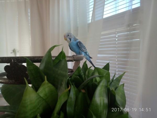 Кура Волнистые попугаи, девочка, длиннопост