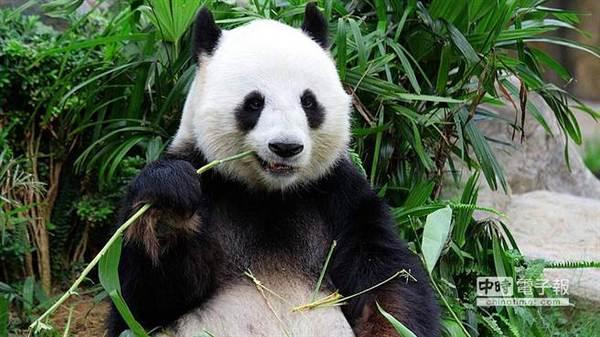 Панда - генетический вегетарианец панда, вегетарианство, геном