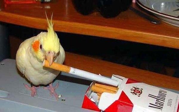 Корелла(История из жизни) корелла, попугай, странности, реальная история из жизни