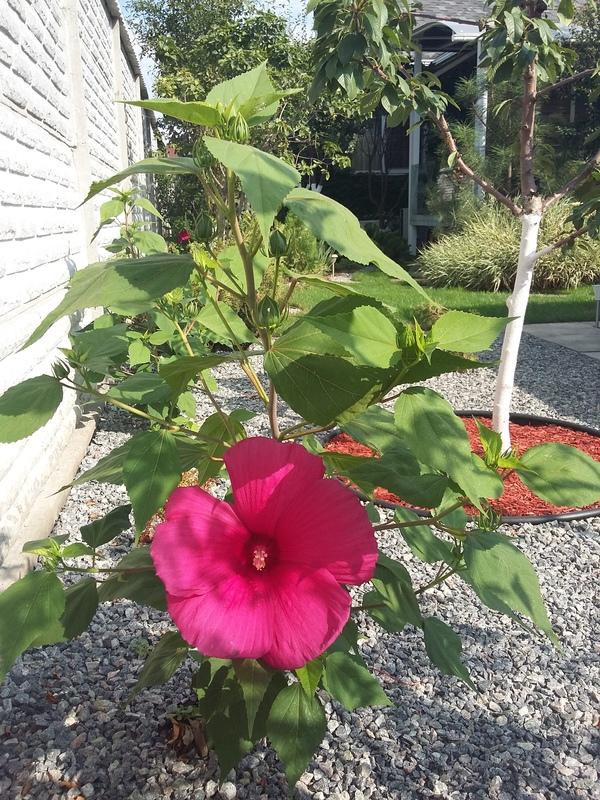 Вот такой чудо-гибискус распустился сегодня. цветок, красота, Природа, длиннопост