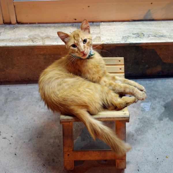Бодрумский кот