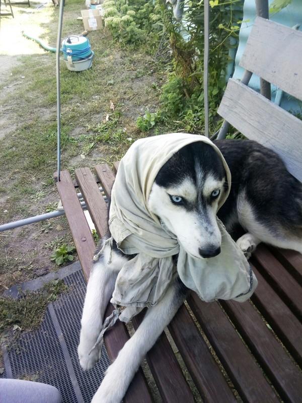 Бабка аська Собака, сибирский хаски, длиннопост