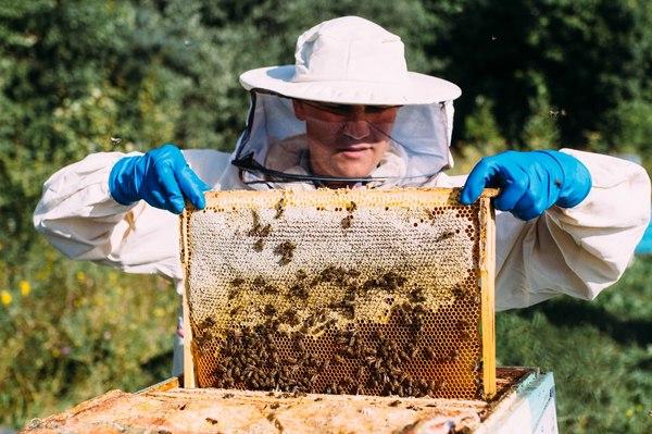 Жизнь пчел. Часть II. Мёд, пчелы, макро, длиннопост