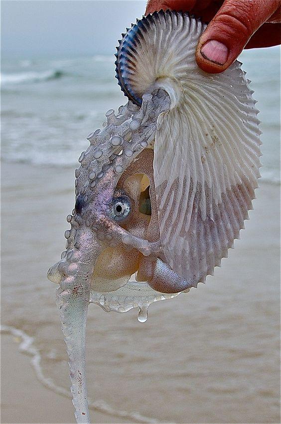Самка осьминога из рода аргонавтов.