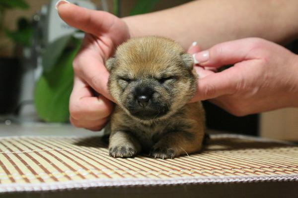 Как быстро растут... дети =) Собака, Было-Стало, Сиба-Ину, Взросление, Шиба ину, Doge, Животные, Домашние животные