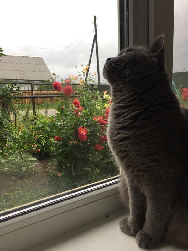 Вот такое хмурое утро Кот, Пасмурно, Дождь, Забайкалье, Георгины