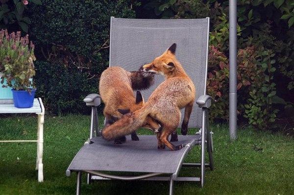 Житель Шотландии заснял лисичек, играющих в его саду :з Лиса, Шотландия, Фыр, Фотография