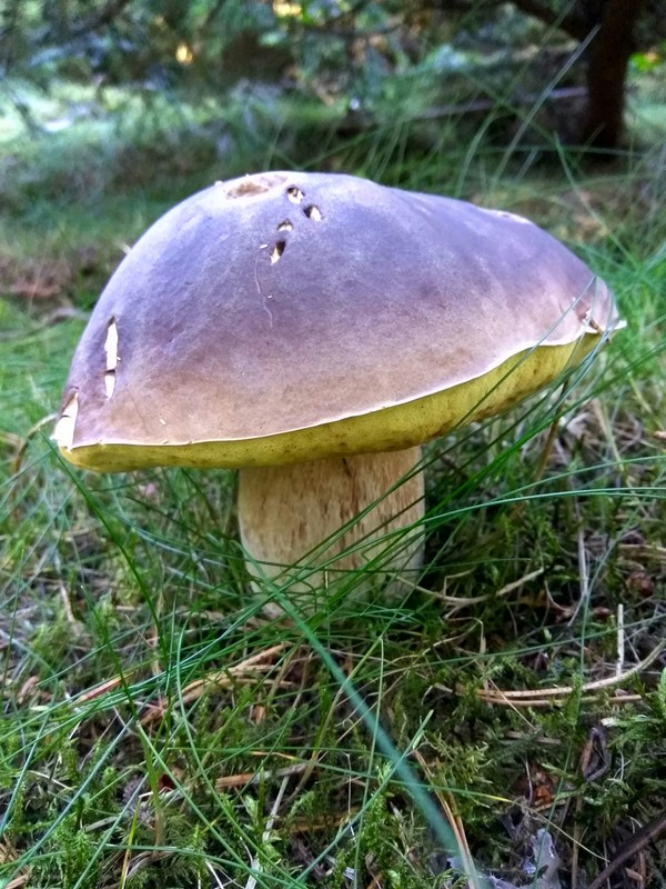 Исландские грибы Грибы, Мухомор, Белый гриб, Маслята, Исландия, Длиннопост