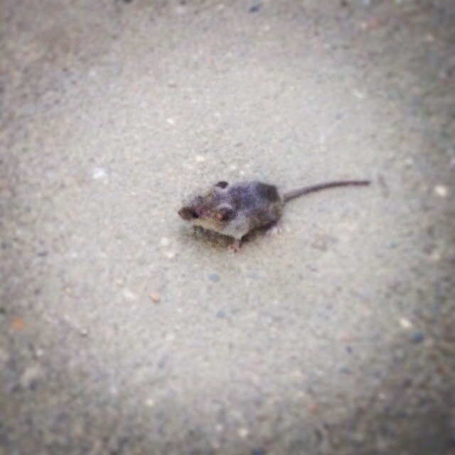 Как я спасала мыша (дважды) Мышь, Спасение, Спасение животных, Длиннопост