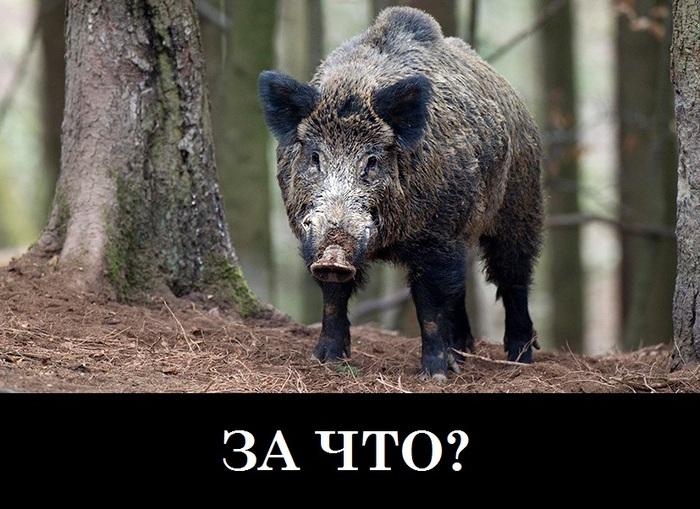 «Вместо собак»: украинская армия обучает боевых кабанов АТО, Украина, Политика, ВСУ, Животные, Кабан