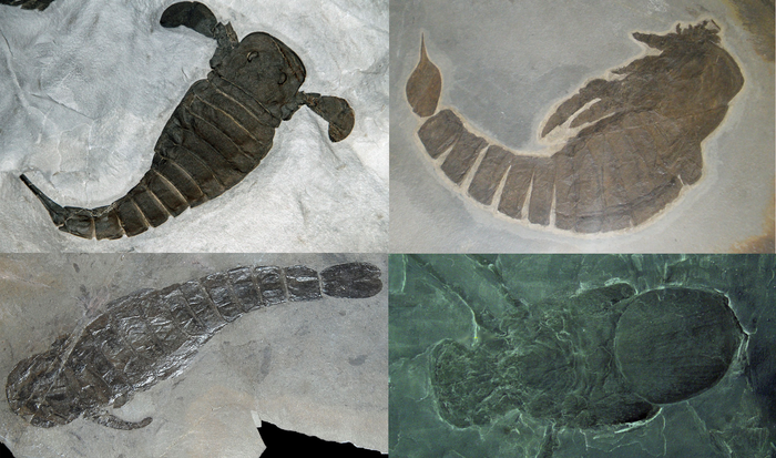 Ракоскорпионы Палеонтология, Палеозой, Беспозвоночные, Животные, Ракоскорпион, Биология, Длиннопост