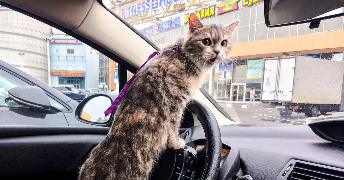фото кошек в машине автовинил обладает