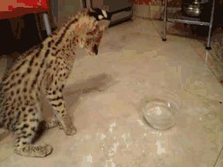 Сервал впервые видит воду