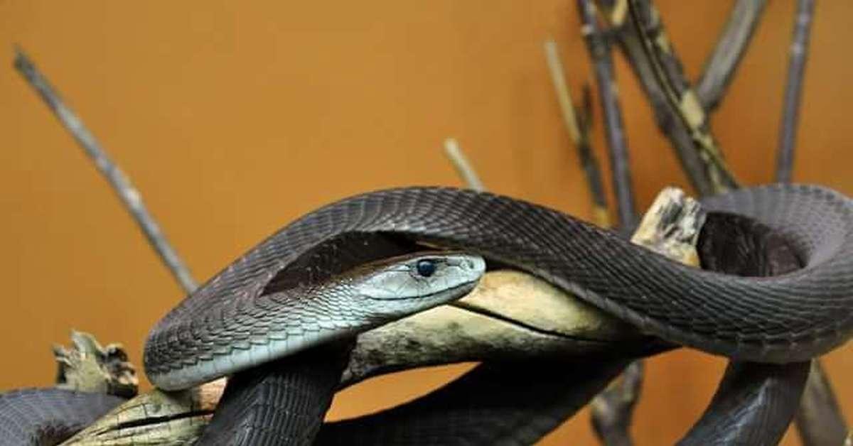 Мамбу купить змею чёрную