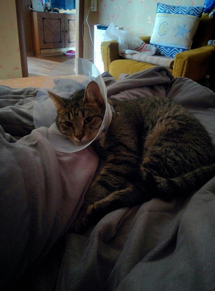 Нужна помощь ветеринара - болячки на морде у кота Кот, Ветеринар, Лечение, Помощь животным, Длиннопост