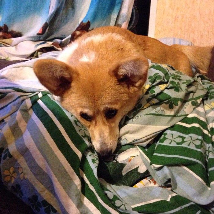 Вечно голодная и очень грустная Корги, Собака, Длиннопост