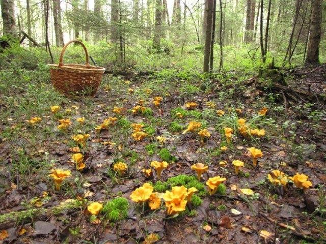 фото грибов лисичек в лесу
