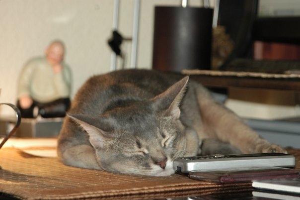 Про кота Котомафия, Абиссинская кошка, Длиннопост, Кот