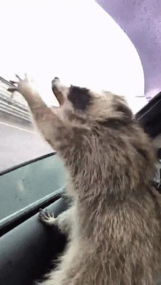 """""""Енот ловит капли дождя, которые попадают в машину"""""""