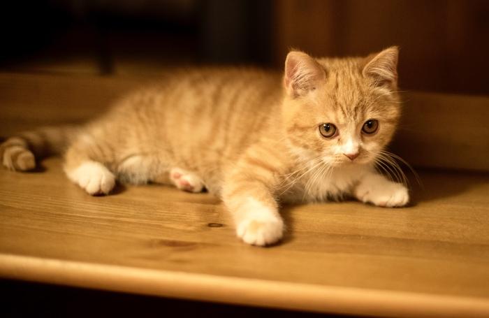 Кот, которому нравится кличка «Кот» Кот, Шотландская прямоухая