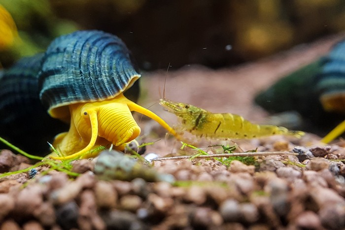 Улитка Кролик - редкий гость в аквариуме! Ахатины, Аквариумистика, Длиннопост