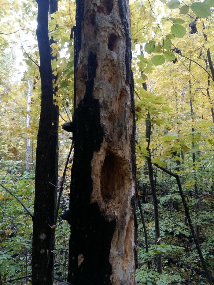 Ходил за грибами. Видимо дятлы в этом месте водятся лютые. Весь лес в таких вот дуплах. Лес, Дятел, Дупло, Длиннопост