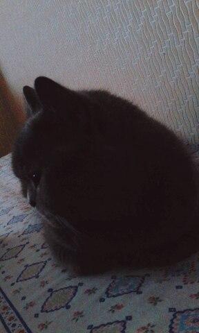 Говорят, что тут любят кошек... Кот, Британский кот, Британские кошки, Недовольство, Явно недоволен, Прячется, Питомец, Кисики, Длиннопост