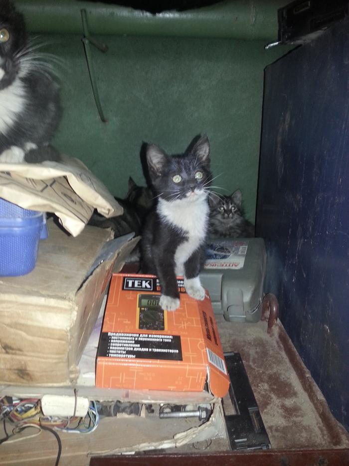 Котята в добрые руки. г. Орехово-Зуево Кот, Халява, Длиннопост, Помощь, Помощь животным, В добрые руки