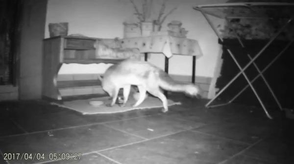Кошачья миска - отлично! (Лисички против котиков)