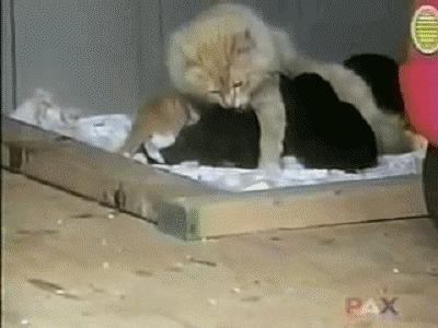 Кошка утащила щенка Кот, Доброта, Милота, Материнство, Гифка, Из сети, Не мое, Собака