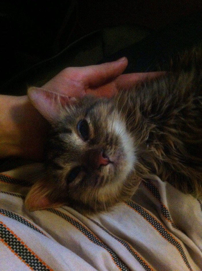 Котенок ищет дом в Москве. Кот, В добрые руки, Ищу дом, Кошка ищет хозяев, Москва, Отрадное, Длиннопост