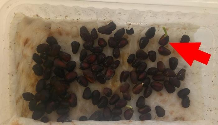 Как я кедры проращивал Кедр, Кедровые орешки, Рассада, Стратификация, Длиннопост