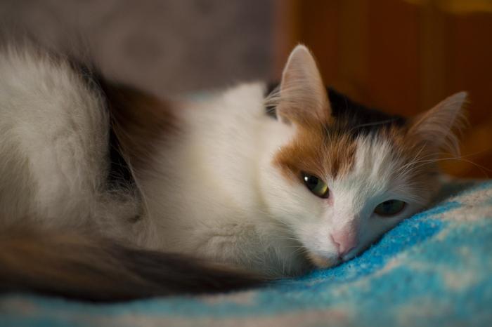Кошка Бусинка Трехцветная кошка, Фотограф, Nikon d3100, Кот