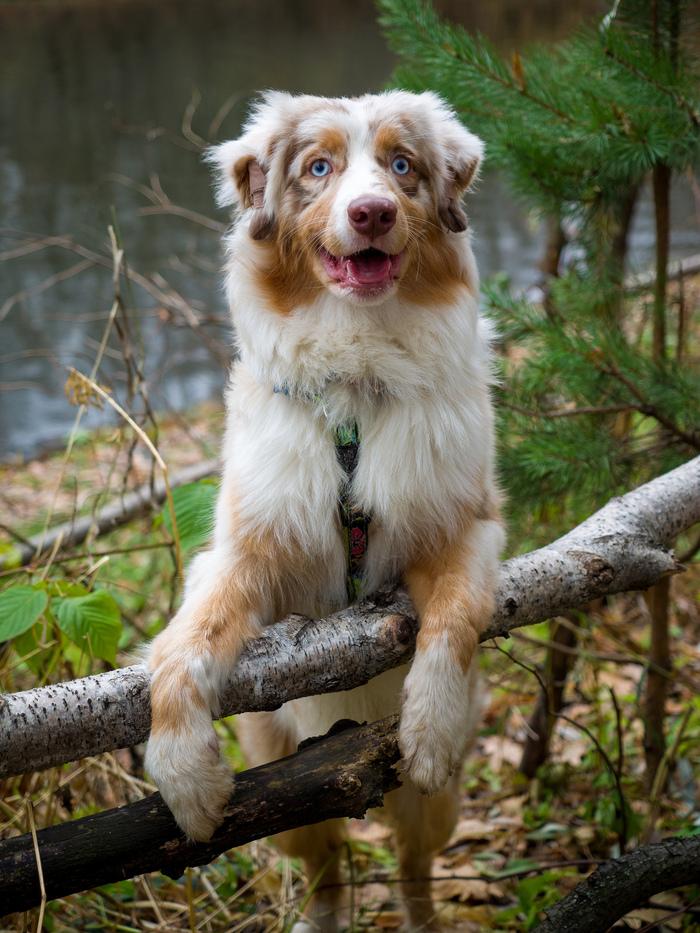 Чур не ругать! Я в домике! Собака, Австралийская овчарка, Фотография, Длиннопост
