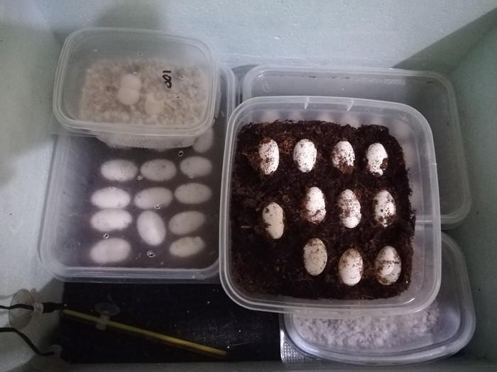 Яйца различных рептилий Работа, Разведение, Террариумистика, Ящерица, Бородатая агама, Инкубация, Длиннопост