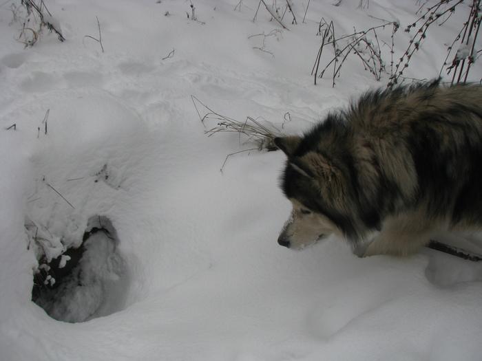 Лиса выходи, разговор есть Нора, Собака, Аляскинский маламут, Хозяйкадрапаем