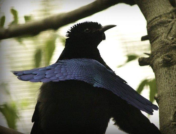 Найдена птица, которая поглощает свет (2:26 прикольно прыгает) Цвет, Птицы, Папуа-Новая Гвинея, Видео, Черный, Длиннопост