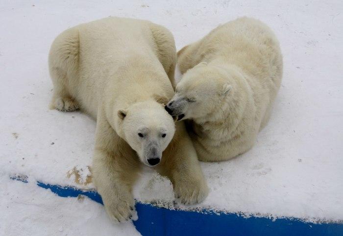 Редкий челябинский подвид полярного медведя - ухожорус толстикус. Челябинский зоопарк, Зоопарк, Белый медведь, Дикие животные, Длиннопост