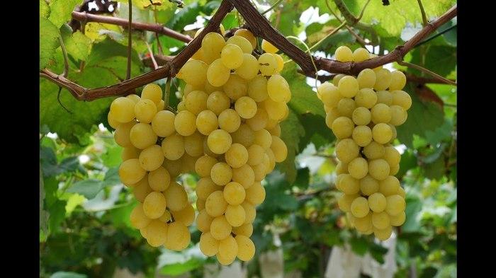 виноград по английски множественное