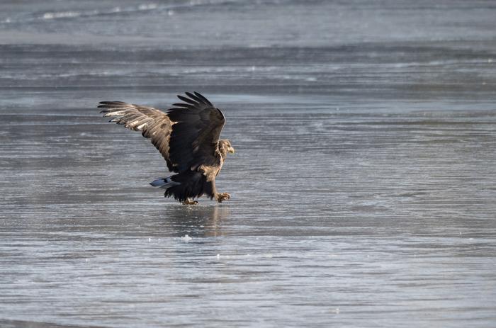 Орланы во Владивостоке Птицы, Хищные птицы, Белохвостый орлан, Белоплечий орлан, Орлан-Белохвост, Фотоохота, Чайки, Длиннопост