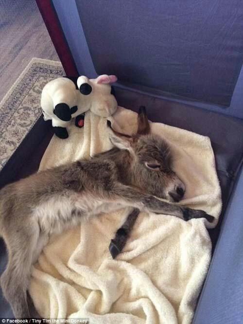 Миниатюрный ослик, отвергнутый матерью, считает себя собакой Ослик, По-Собачьи, Домашние животные, Миниатюрный, Facebook, Забавное, Длиннопост