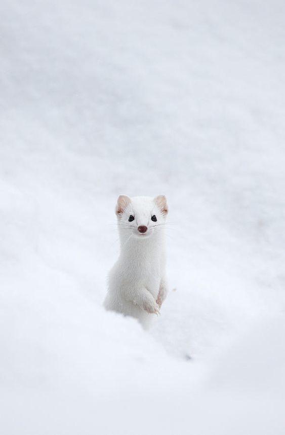 Снежок Горностай, Животные, Снег, Зима, Длиннопост