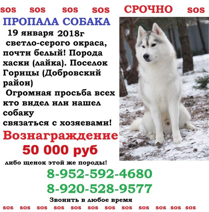Пропал хаски Хаски, Объявление, Липецкая область, Помогите найти, Помощь, Собака, Пропала собака, Пропажа
