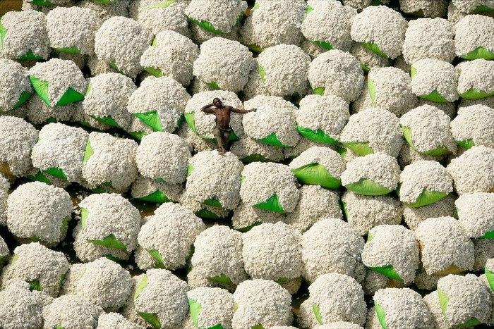 Где выращивают хлопчатник и развито шелководство