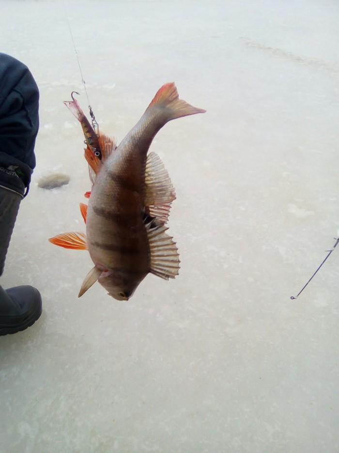Рыбалка.Дуплет на балансир. Рыбалка, Зима, Псковское озеро, Дуплет, Длиннопост